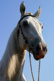 Orlov trotter. A grey Orlov trotter`s head against blue sky Stock Image