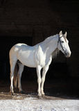 Orlov Trotter. Disappearing rare Russian breed of horses - Orlov trotter Stock Images