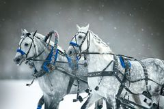 Free Orlov Trotter Ftom Russian Troika With Red Ribbons In The Mane Royalty Free Stock Photos - 156771468