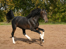 Orlov trotter on the move Royalty Free Stock Photo
