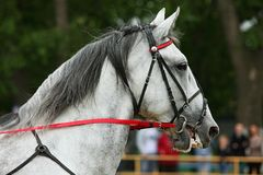 Orlov Trotter, portrait of a dapple gray. Harness horse Royalty Free Stock Photography