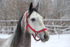 Orlov Trotter, portrait of a dapple gray. Harness horse Stock Photography