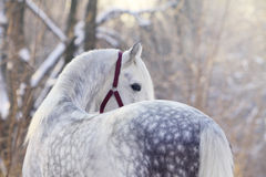 Orlov trotter stallion. In winter Stock Image