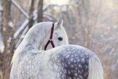 Orlov trotter stallion Stock Image