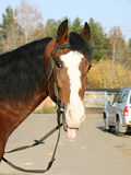 An Orlov trotter sticking his tongue out. Looking at the camera Royalty Free Stock Image