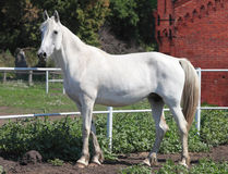 Orlovsky小跑步马,一匹白色母马的画象 库存照片