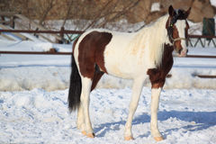 Orlovsky stallion in the paddock. Chestnut horse in the paddock. Farm animals Stock Photo
