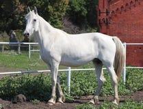 Orlovskydraver, portret van een witte merrie Stock Foto's