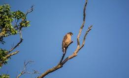 Orm Eagle Royaltyfria Foton