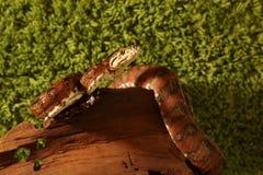 Orm för amasonträdboa (den Corallus hortulanusen) arkivfoto