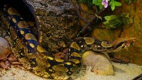 orm för boaconstrictor arkivfilmer