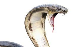 Orm för konungkobra Arkivfoto