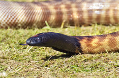 Orm för Svart-hövdad pytonorm för närbild australisk med tungan ut arkivfoto