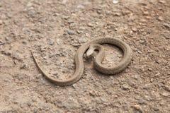 Orm i en defensiv ställing Arkivbild