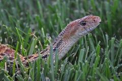 Orm i gräs Arkivfoton