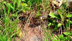 Orm i gräset lager videofilmer