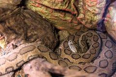 Orm i terrarium Fotografering för Bildbyråer
