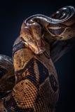 Orm på svart bakgrund Arkivfoto