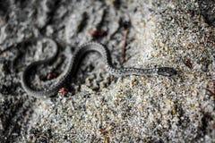Orm som är rörande på sanden Royaltyfria Bilder