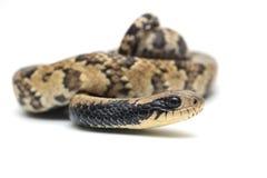 Orm som isoleras på vit Arkivbild