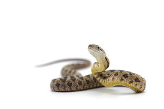 Orm som isoleras på vit Royaltyfri Fotografi