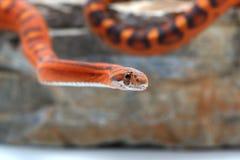 Orm som isoleras på vit Royaltyfri Foto