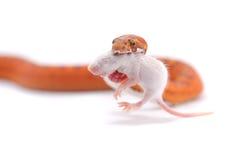 Orm som isoleras på vit Royaltyfria Foton