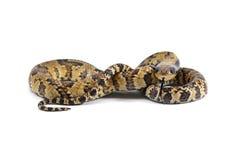 Orm som isoleras på vit Royaltyfria Bilder
