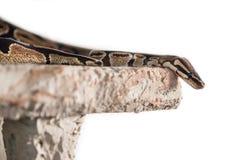 Orm som isoleras på vit bakgrund Arkivfoto