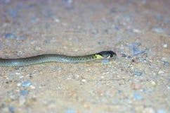 Orm som vilar på jordningen Royaltyfria Bilder