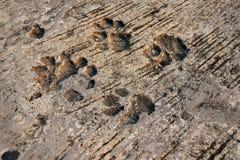 Orma del cane sul pavimento di calcestruzzo Poiché i cani camminano su bagnato cementi immagini stock libere da diritti