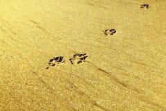 Orma del cane sulla sabbia Immagini Stock
