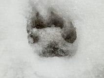 Orma del lupo e dei cervi nella foresta della neve Fotografia Stock