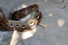 Ormar äter fegt arkivbild