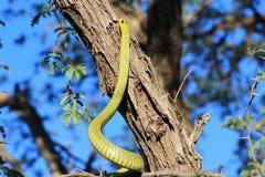 Ormar från Afrika - göra grön Treeormen Arkivfoto