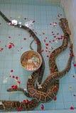 Ormar på templet i Paleik, bredvid Mandalay Royaltyfria Bilder