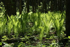 Ormbunkar i skogen Arkivbilder
