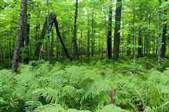 Ormbunkar och skog på Jay Cooke State Park Arkivbilder