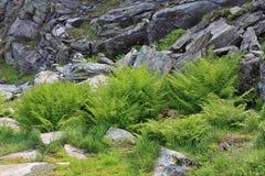 Ormbunkar på stenar Royaltyfria Foton