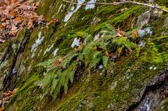 Ormbunkar som växer från en spricka i stenen royaltyfri fotografi
