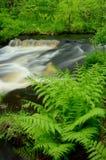 Ormbunkar vid strömmen i skogen Arkivfoto