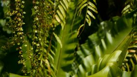 Ormbunke för rede för fågel` s, Aspleniumnidus Lös växt för paradisrainforestdjungel som naturlig blom- bakgrund abstrakt textur lager videofilmer