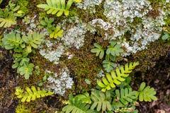 Ormbunke, lav och texturerat gr?nt mossigt bakgrundsslut upp royaltyfri bild