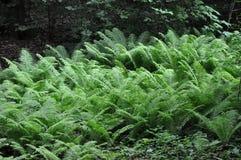 Ormbunke (marattiaceae) i skuggan av det stora trädet Arkivbilder