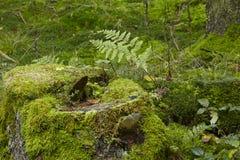Ormbunke och en mossig stump Fotografering för Bildbyråer