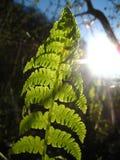 Ormbunke som växer den near våren för solig dag för bergflod Arkivbild