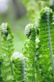Ormbunke som växer i en skog Arkivfoto