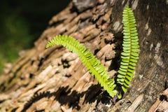 Ormbunke som växer ut ur en trädstam Arkivbild