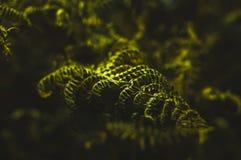 Ormbunke under solsken i skogen Fotografering för Bildbyråer