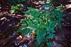 Ormbunke vid The Creek i träna Arkivfoton